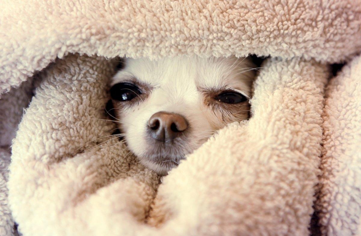 Pielęgnacja Chihuahua Zdrowie Akcesoria I Kosmetyki Dla Psów
